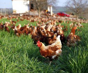Organik Doğal Yumurta 0532 066 47 18